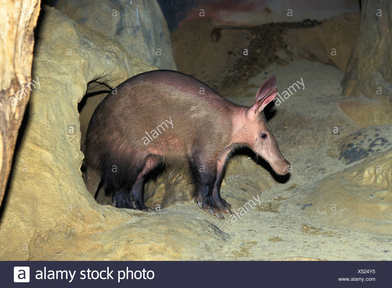 Aardvark (Orycteropus afer) leaving den, zoo, Africa - Stock Image