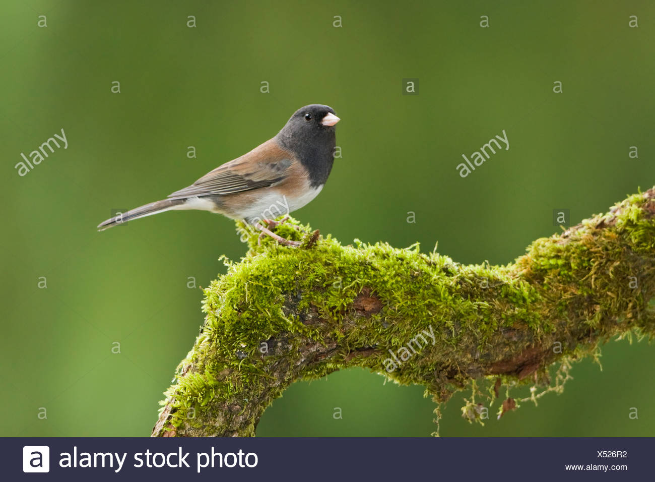 A Dark-eyed junco (Junco hyemalis) perches on a mossy branch in Victoria, Vancouver Island, British Columbia, Canada - Stock Image