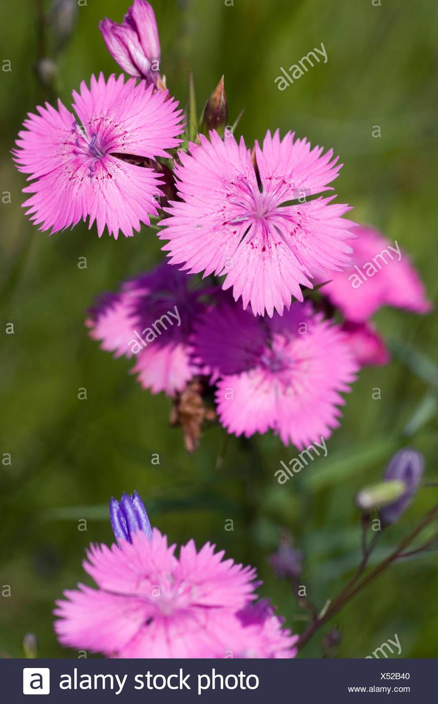 Ragged Pink (Dianthus seguieri), flowers, Germany, 1 - Stock Image