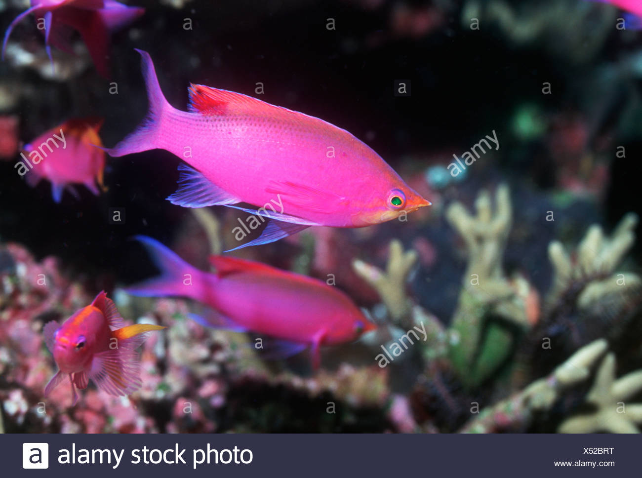 Purple queen, male.  Papua New Guinea.  Indo-Pacific. - Stock Image