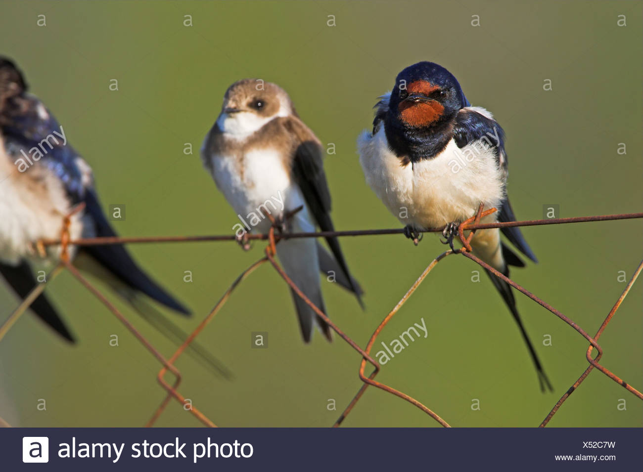 barn swallow (Hirundo rustica), some birds sitting beside each other on a mesh wire fence, Greece, Lesbos, Kalloni Salt Pans - Stock Image