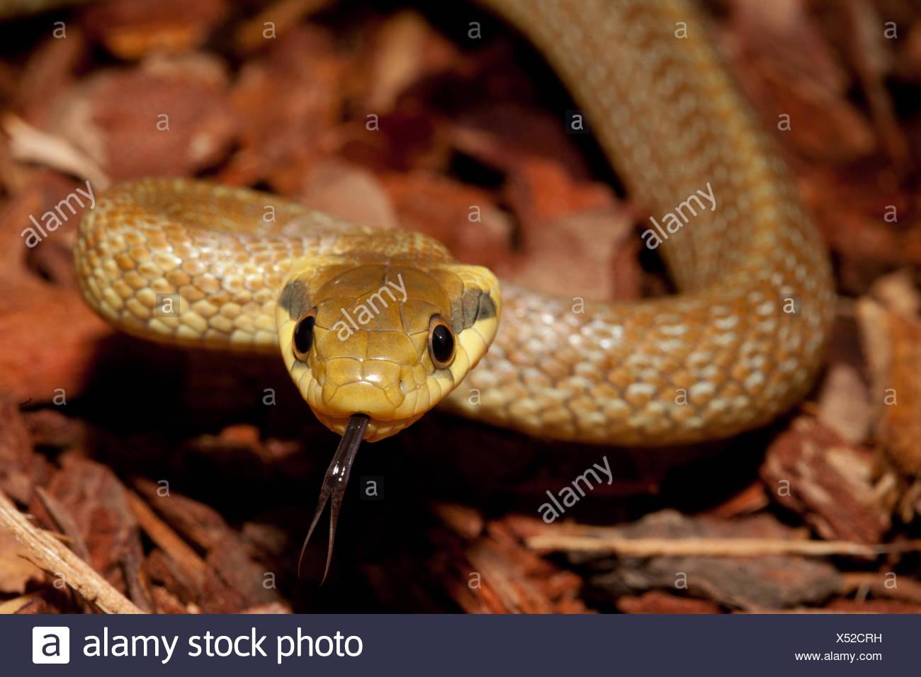 aesculapean Rat Snake Stock Photo