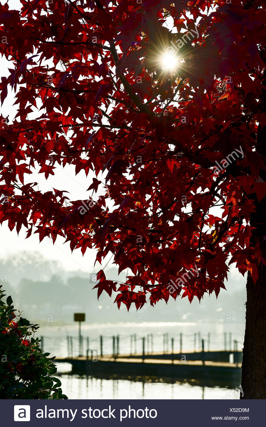 Italy, Sun shining through red foliage of maple tree with lake pier in blurred background - Stock Image