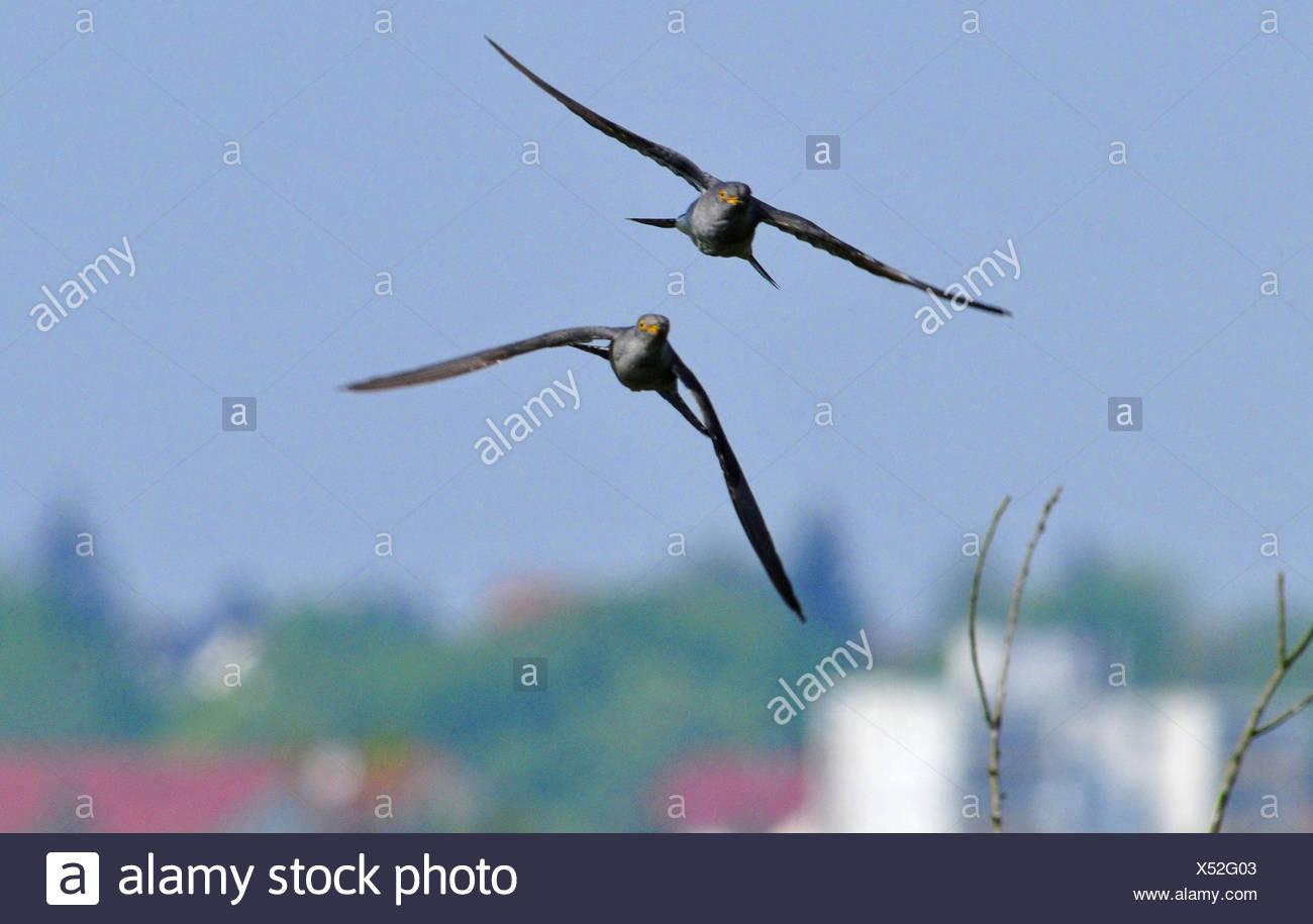 Kuckuck (Cuculus canorus), zwei Kuckucke fliegen, Deutschland | Eurasian cuckoo (Cuculus canorus), two cuckoos in flight, German - Stock Image
