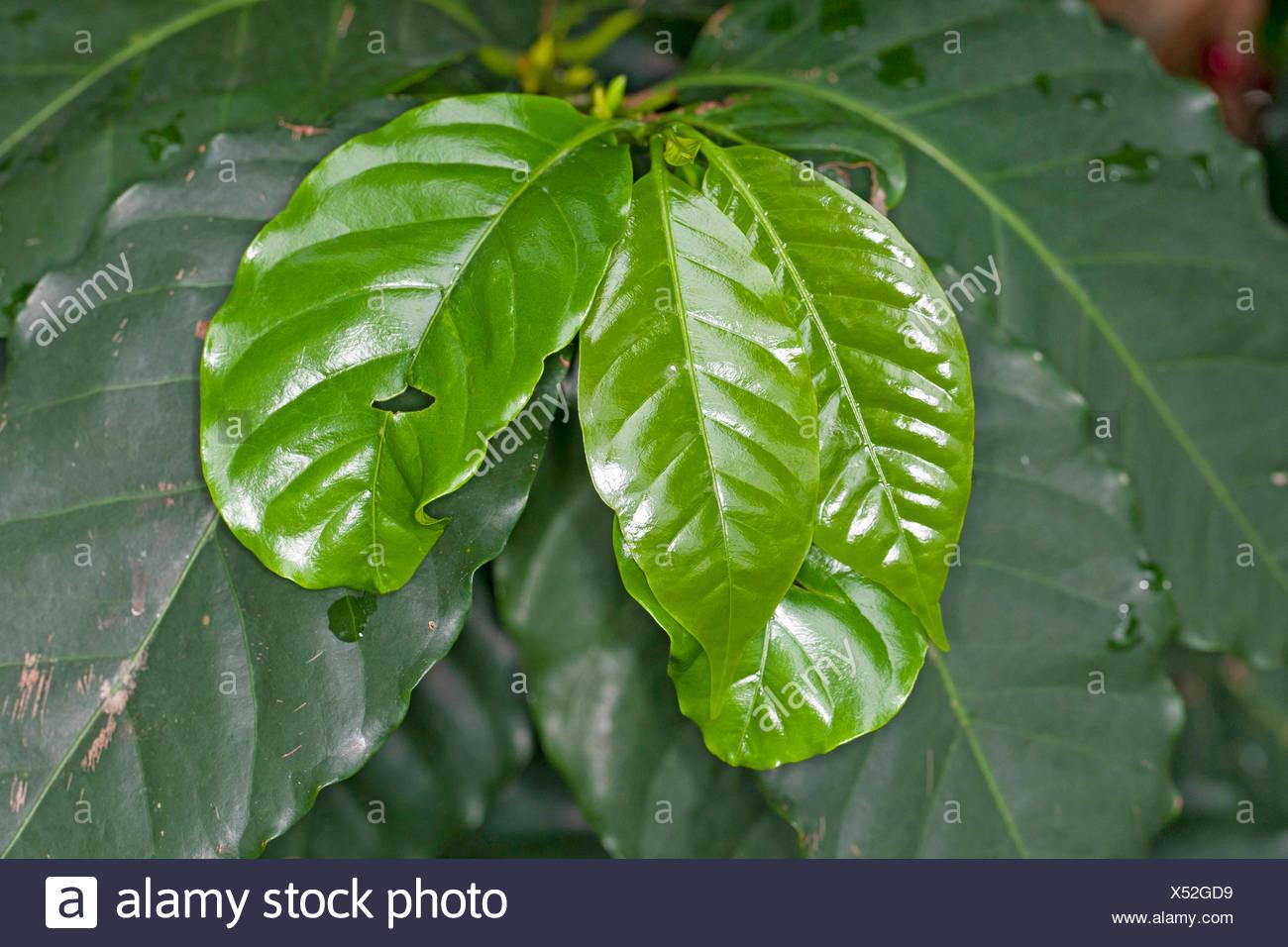 Arabian coffee (Coffea arabica), leaves - Stock Image