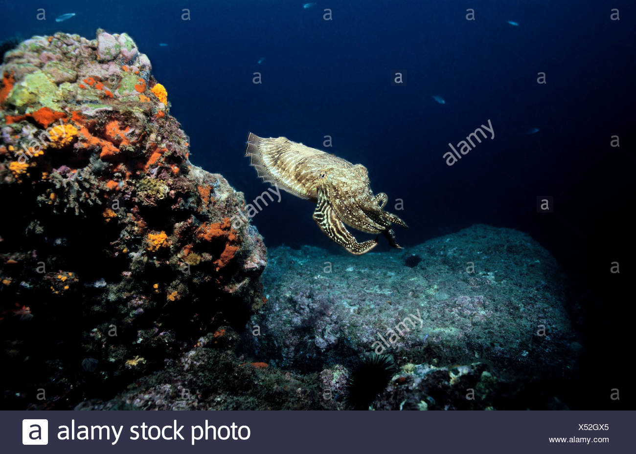 Common cuttlefish swimming Sepia officinalis Mediterranean - Stock Image