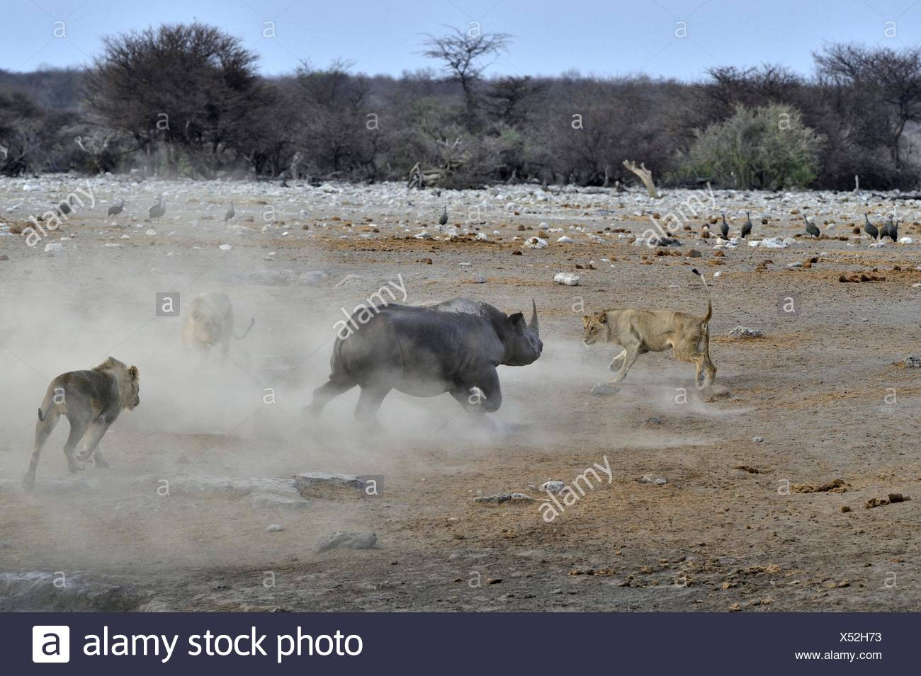 This Black Rhino has stumbled into a cavity and tipped into the water point. After many difficulties given the apic submerged - Stock Image