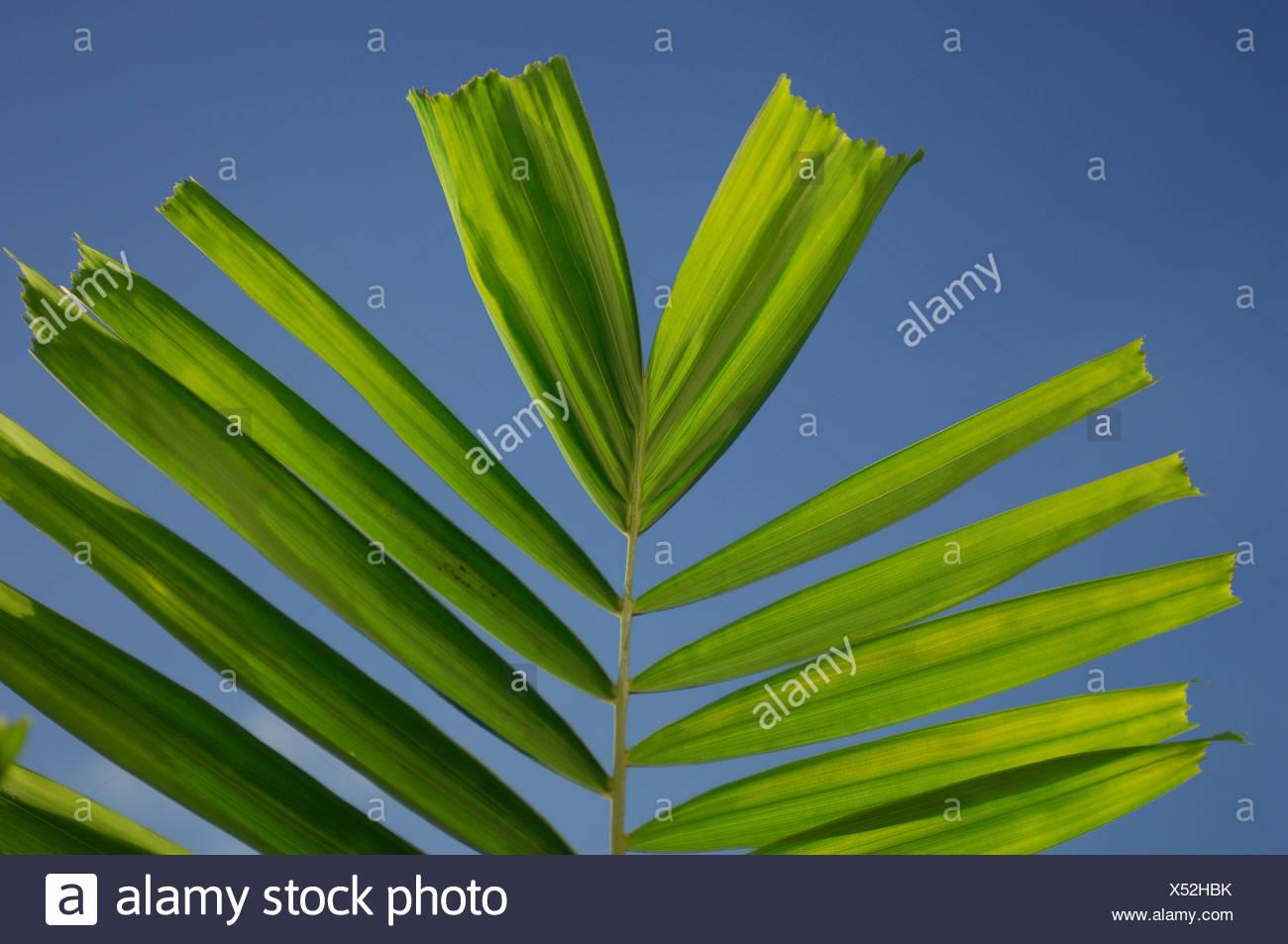 Caribbean Vauxhall Barbados Almond Beach Club & Spa Hotel West Coast Palm Palms Leaves Leaf Leafs Detail Close-Up Green Blue - Stock Image