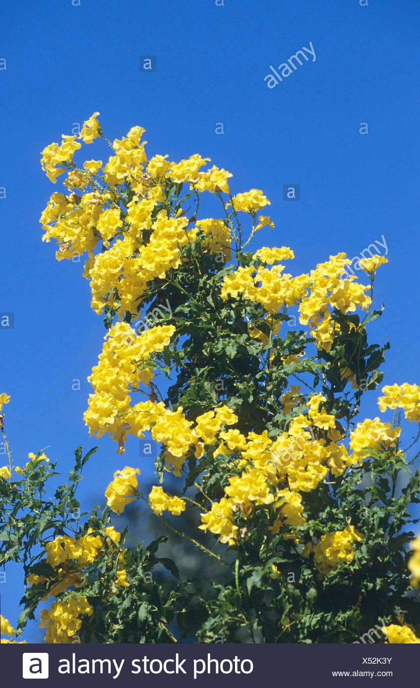 yellow trumpetbush, yellow bells, yellow elder (Tecoma stans), blooming, Egypt. Stock Photo