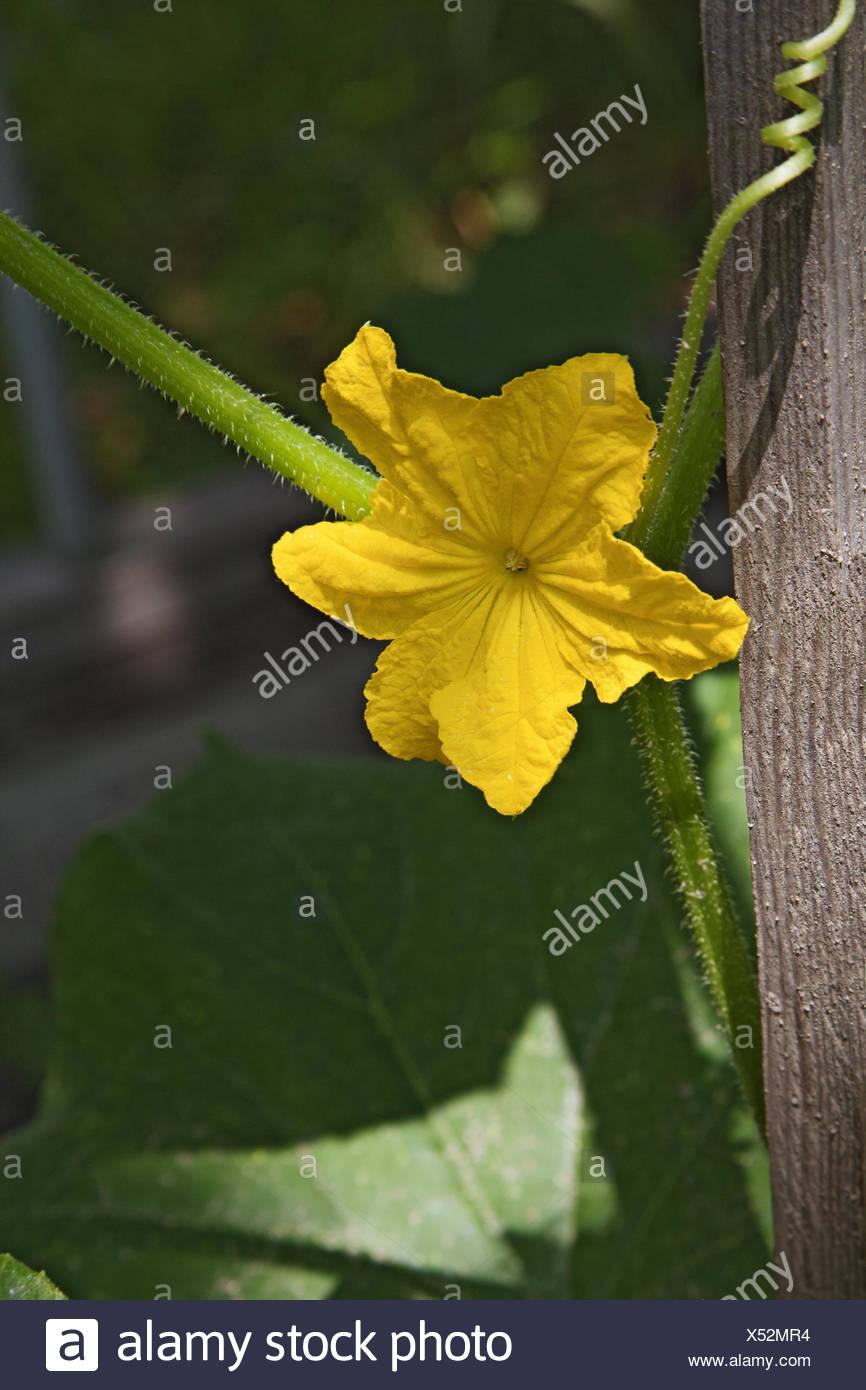 Cucumber Plant Yellow Flower Stock Photos Cucumber Plant Yellow