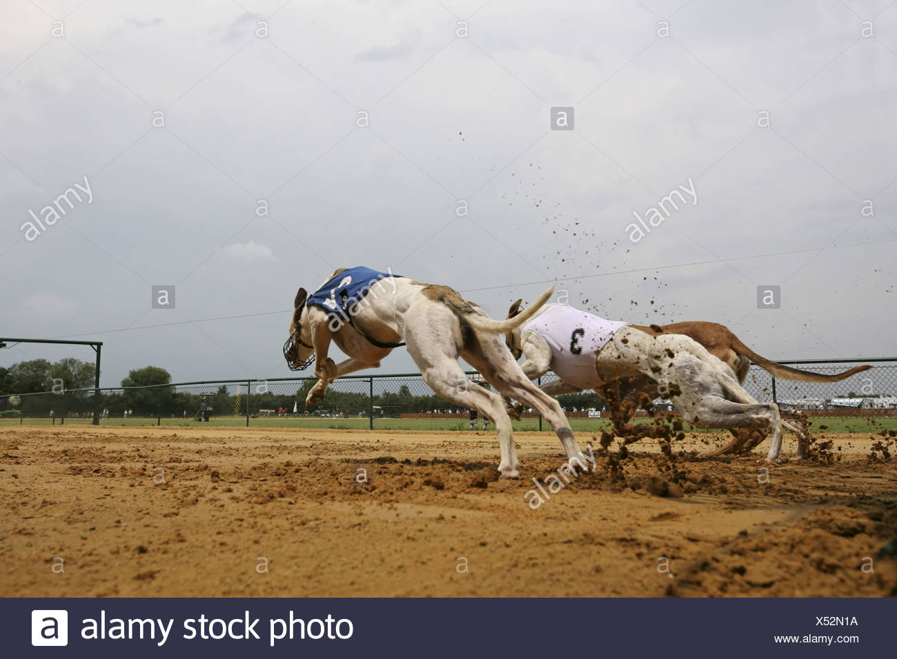 Whippet (Canis lupus f. familiaris), greyhound racing Stock Photo