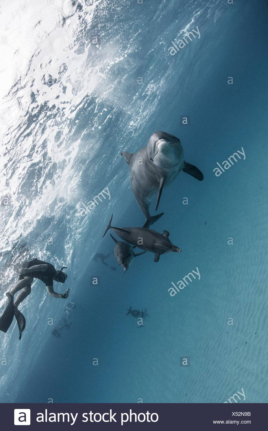 Angled view of atlantic spotted dolphins and scuba divers, Bahama Banks, Bahamas, Caribbean - Stock Image