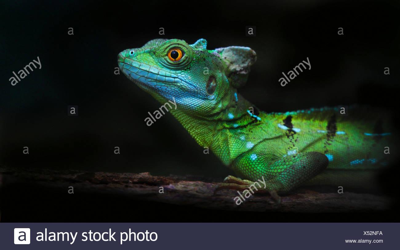 common basilisk (Basiliscus basiliscus), portrait - Stock Image