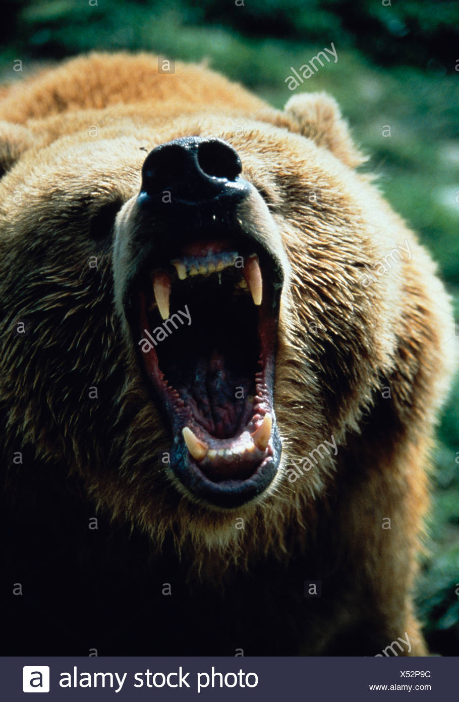 Grizzly growling - Stock Image