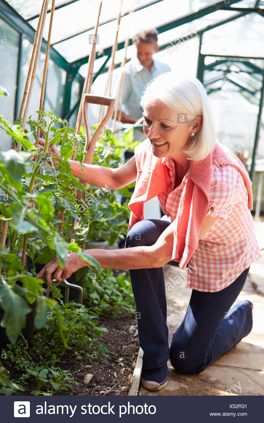 Middle Aged Couple Looking After Tomato Plants In Greenhouse - Stock Image