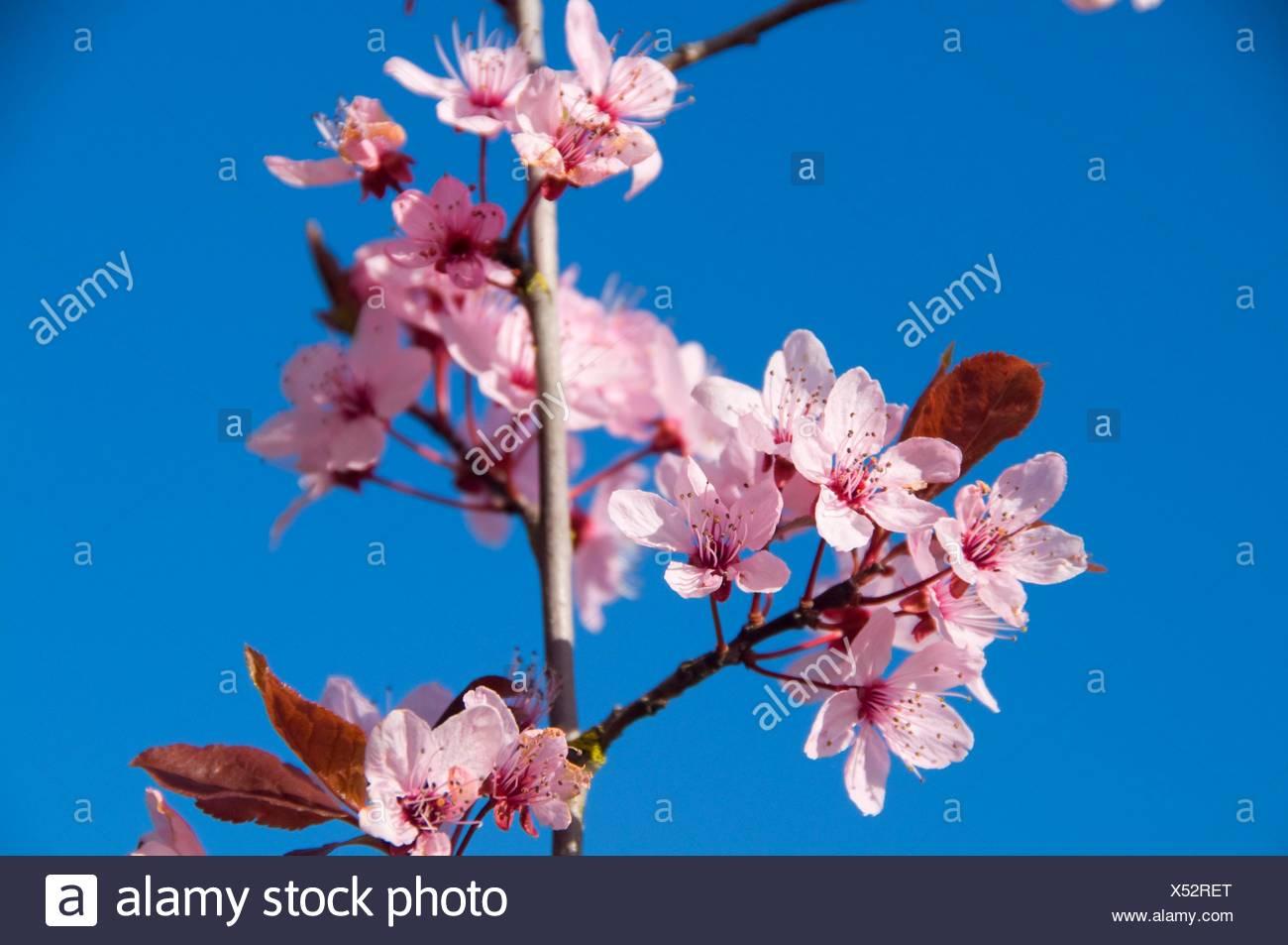 Plum blossoms, Marshall Unit-Willamette River Greenway, Lane County, Oregon. - Stock Image