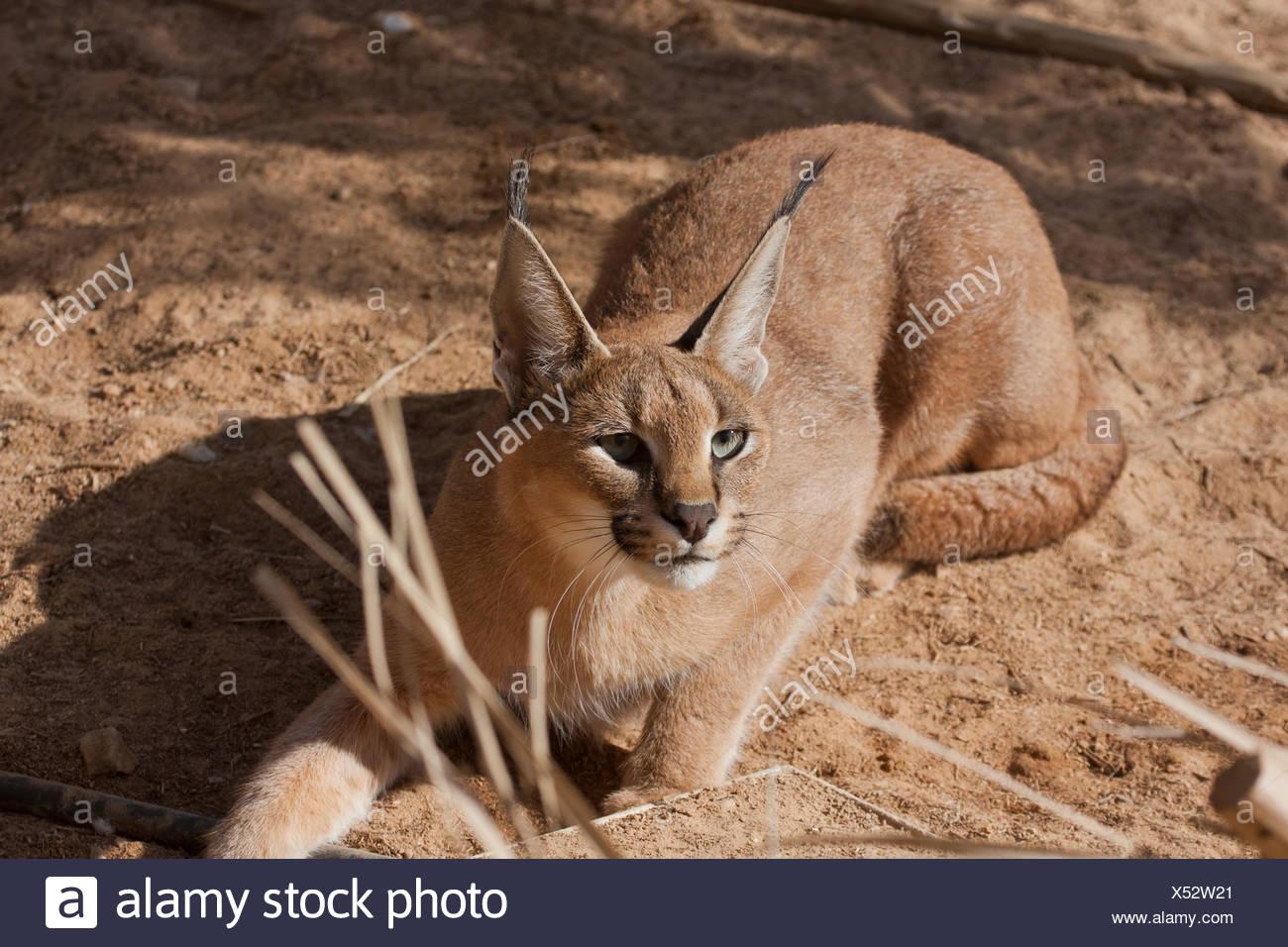 Caracal Caracal Caracal Also Known As Desert Lynx Is A Wild Cat