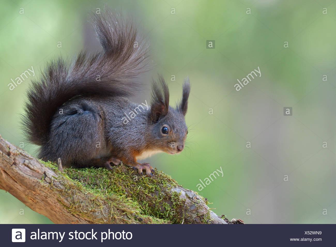 Squirrel (Sciurus vulgaris) sitting on a branch, Tyrol, Austria - Stock Image