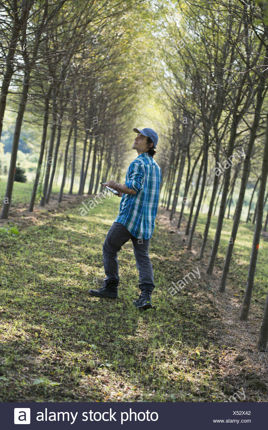 A man walking down an avenue of trees looking upwards. - Stock Image