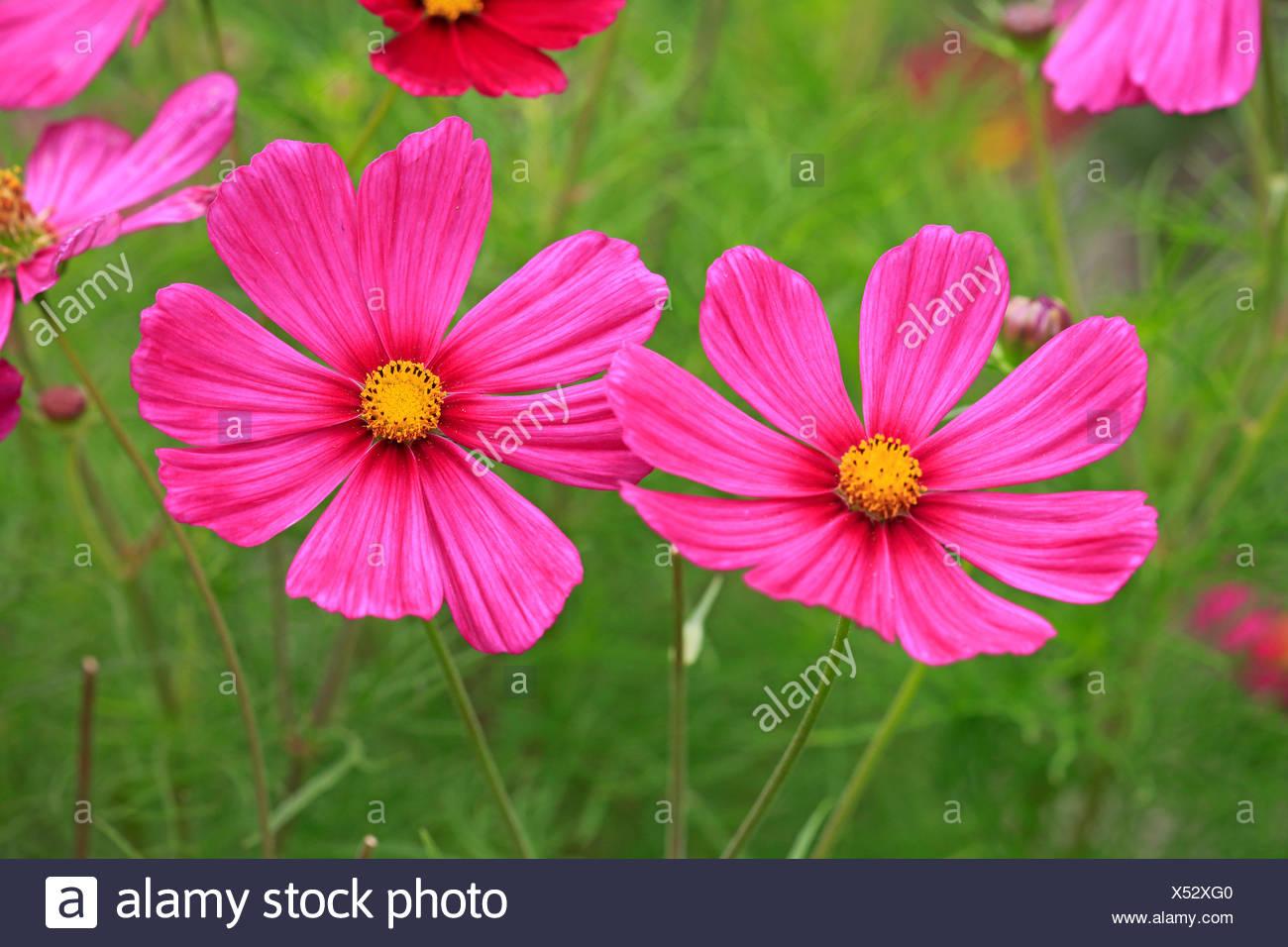 Garden Cosmos / (Cosmos bipinnatus) - Stock Image