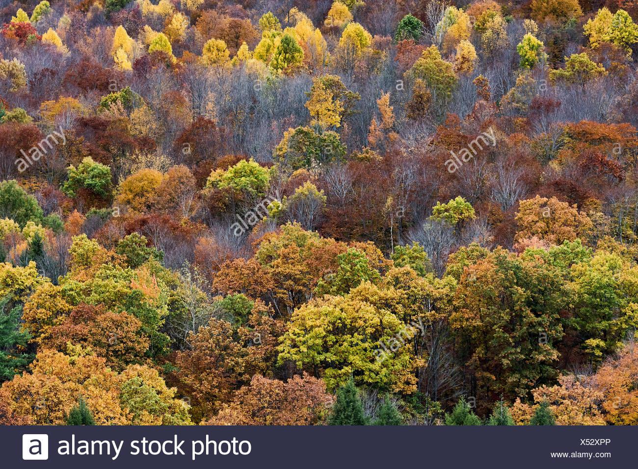 Colorful stand of autumn trees, Pennsylvania, USA - Stock Image
