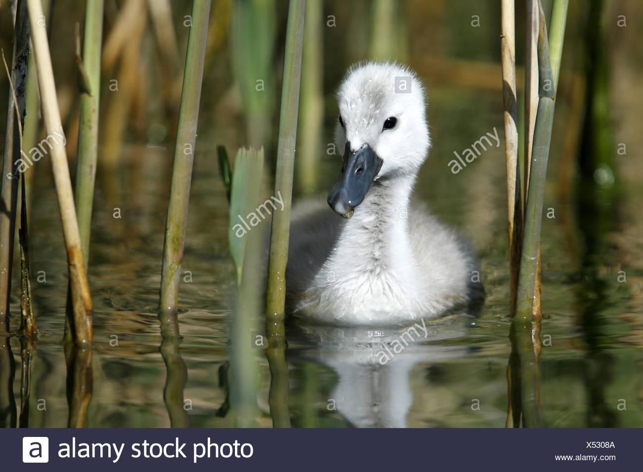 Pond, hump swan, Cygnus olor, fledglings, swim, pool, water, animal baby, animal, bird species, duck's birds, swans, swan fledglings, down, reed, Reflection, nature, - Stock Image