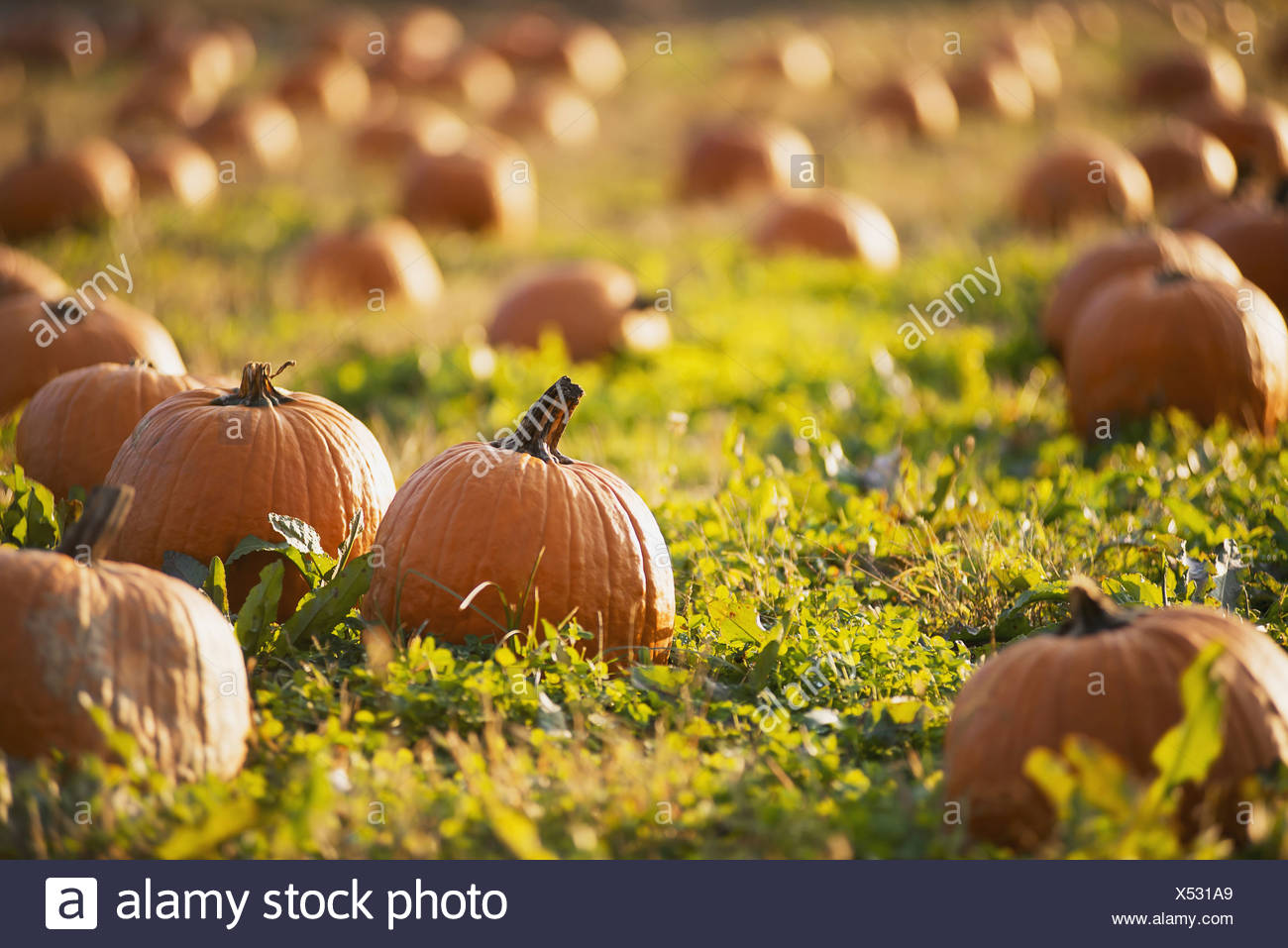 A field of pumpkins growing - Stock Image