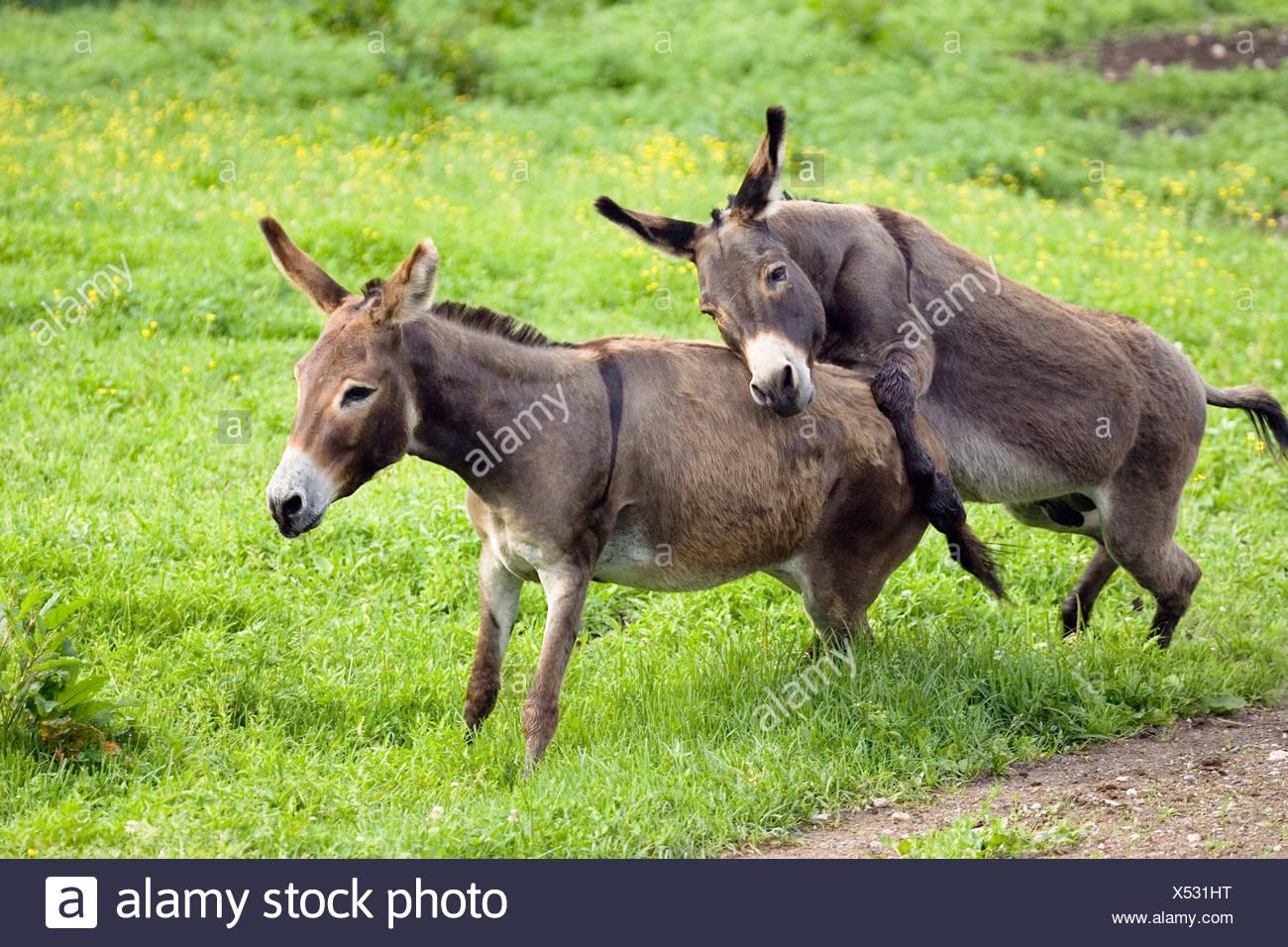 Donkeys, pair mating, Equus asinus, Germany Stock Photo