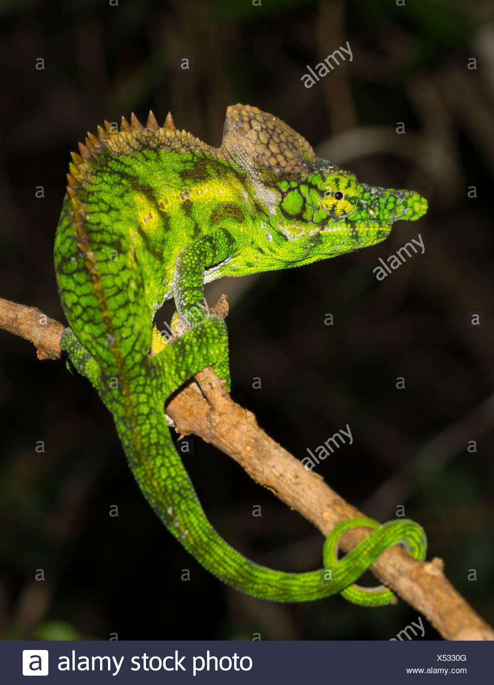 Antimena chameleon (Furcifer antimena), male, rear view, looking away from the viewer, Ifaty-Mangily, southern Madagascar - Stock Image