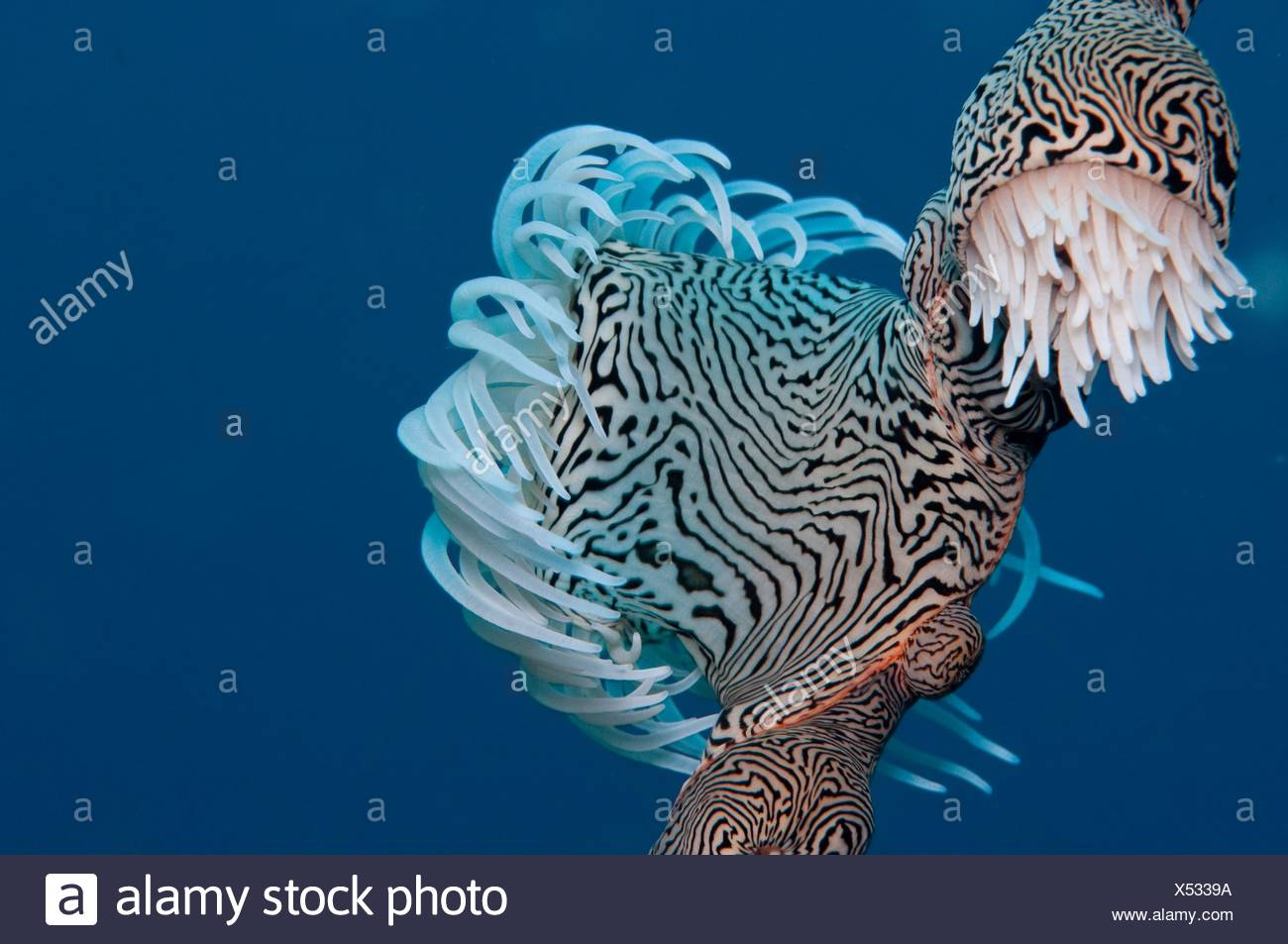 gorgonian wrapper - Stock Image
