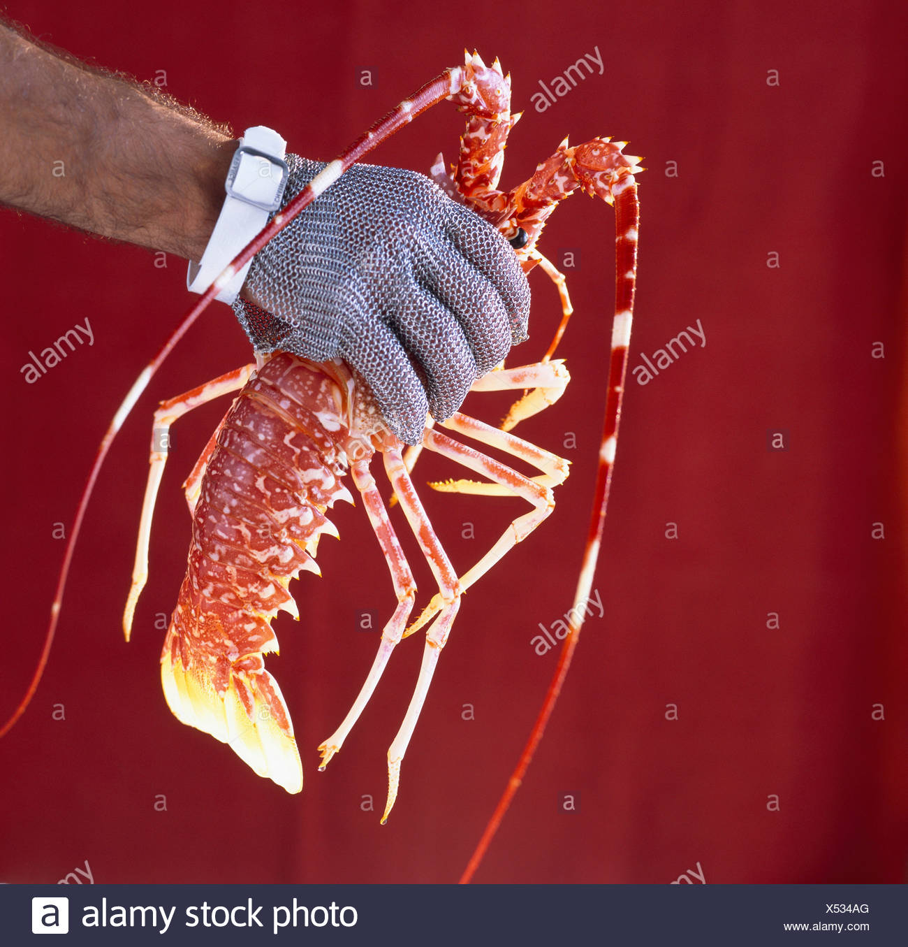 Whole crawfish and hand with glove - Stock Image
