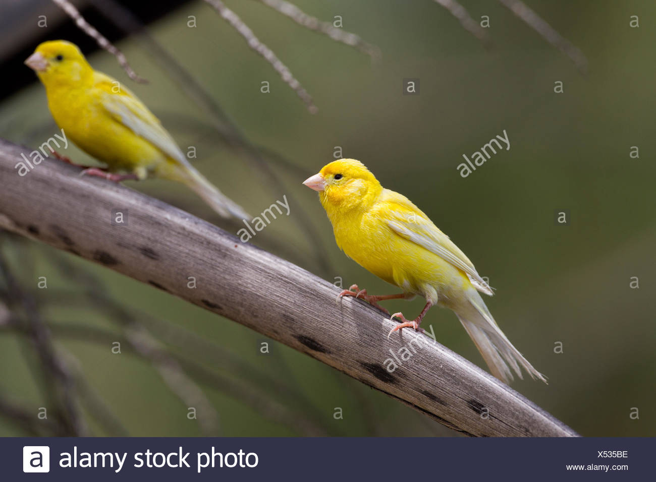 Canary (Serinus canaria domestica) Sand Island Midway Atoll National Wildlife Refuge Northwest Hawaiian Islands. About 500 - Stock Image