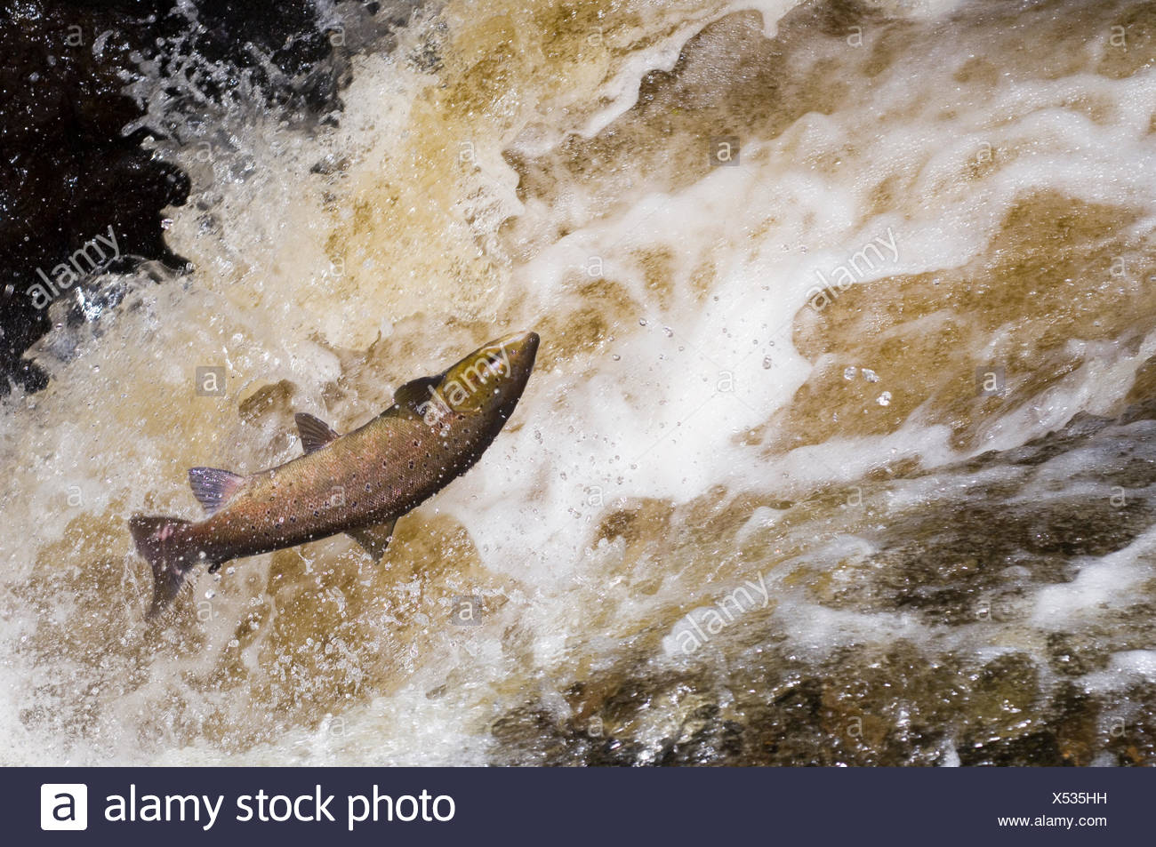 Atlantic salmon {Salmo salar} leaping up waterfall on migration and falling back into the water, Perthshire, Scotland, UK 2006 - Stock Image