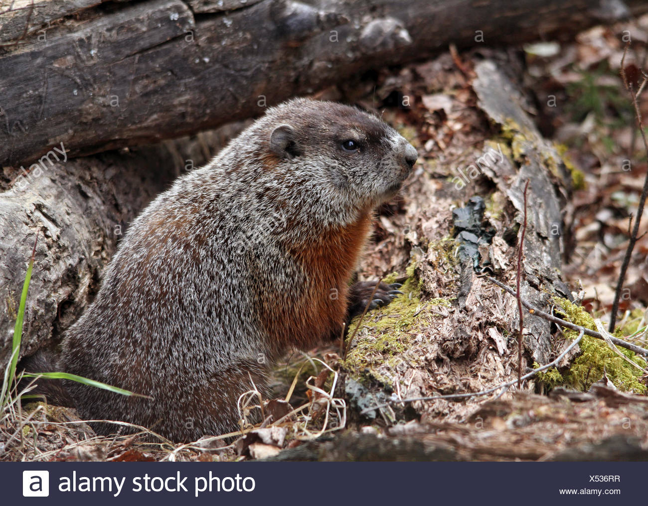 Woodchuck, Marmota monax,  in a northern forest at Prince Albert National Park, Saskatchewan, Canada - Stock Image