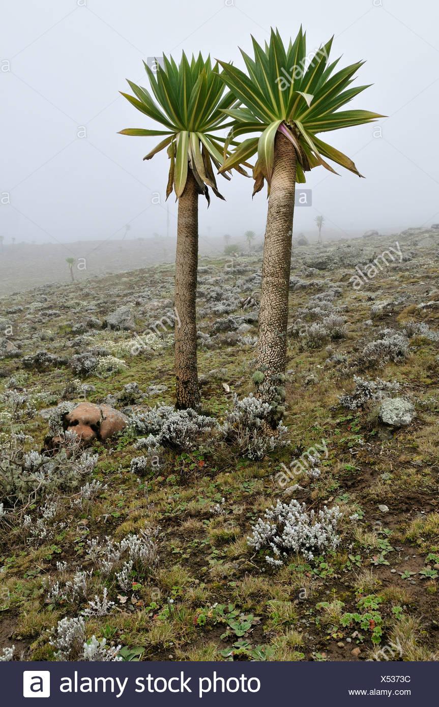Giant Lobelia on the Sanetti Plateau, Bale Mountains National Park, Oromo, Ethiopia, Africa Stock Photo