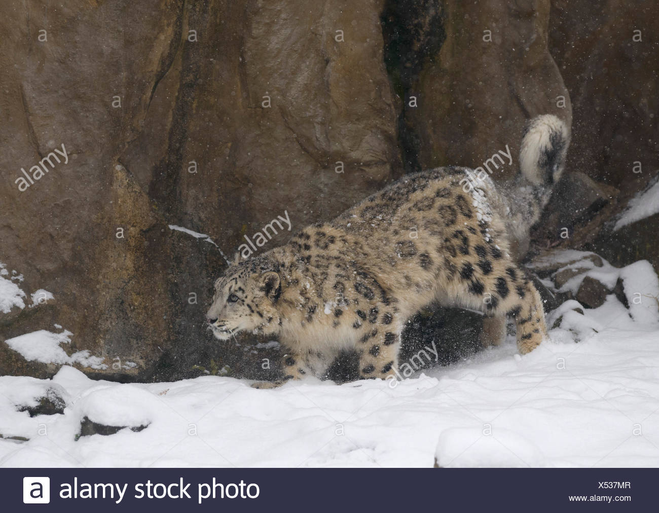 Schneeleopard, Irbis, Panthera uncia, captive, sich anschleichend, - Stock Image