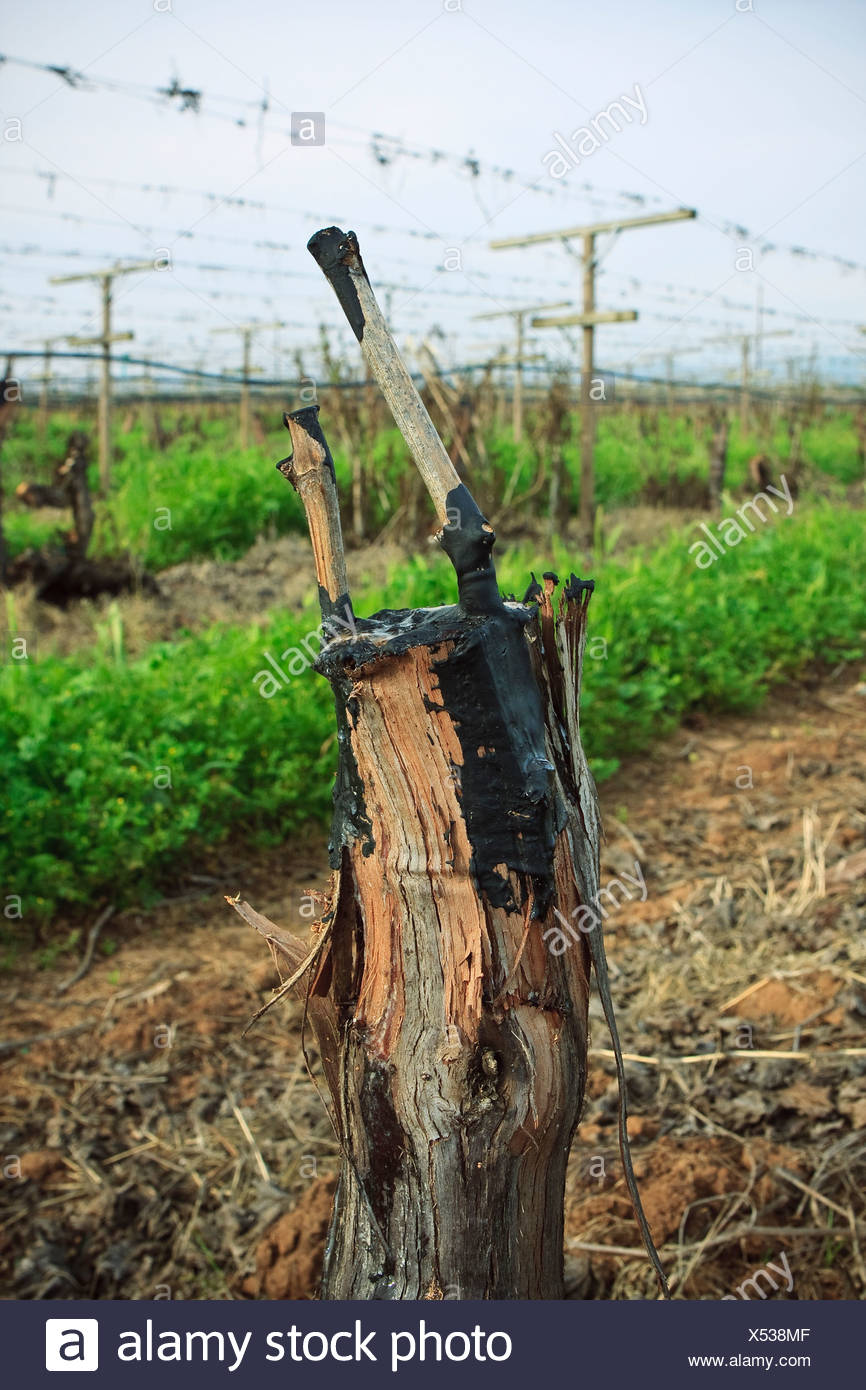 Agriculture – Grape vine grafts in Spring that have been grafted from one variety to another / near Reedley, California, USA. Stock Photo