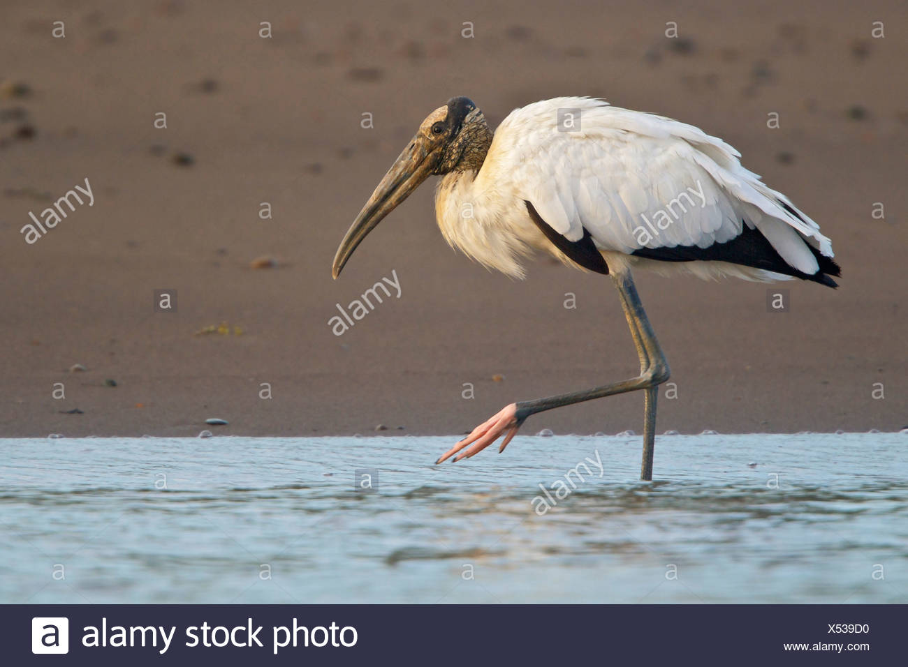 Wood Stork (Mycteria americana) feeding along a river in Costa Rica. - Stock Image