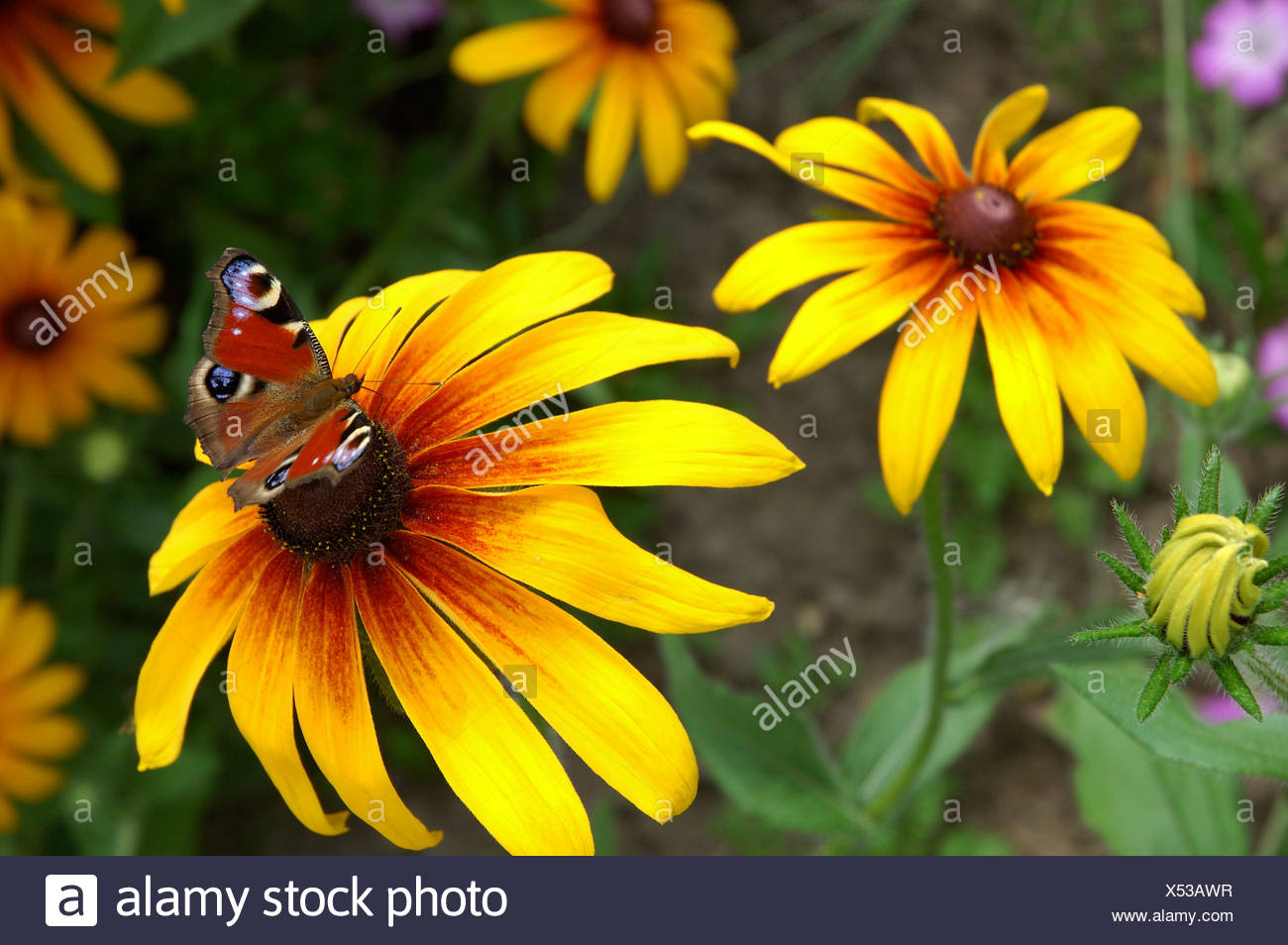 A butterfly rests on the anther of one of the yellow petaled flowers peacock butterfly - Stock Image