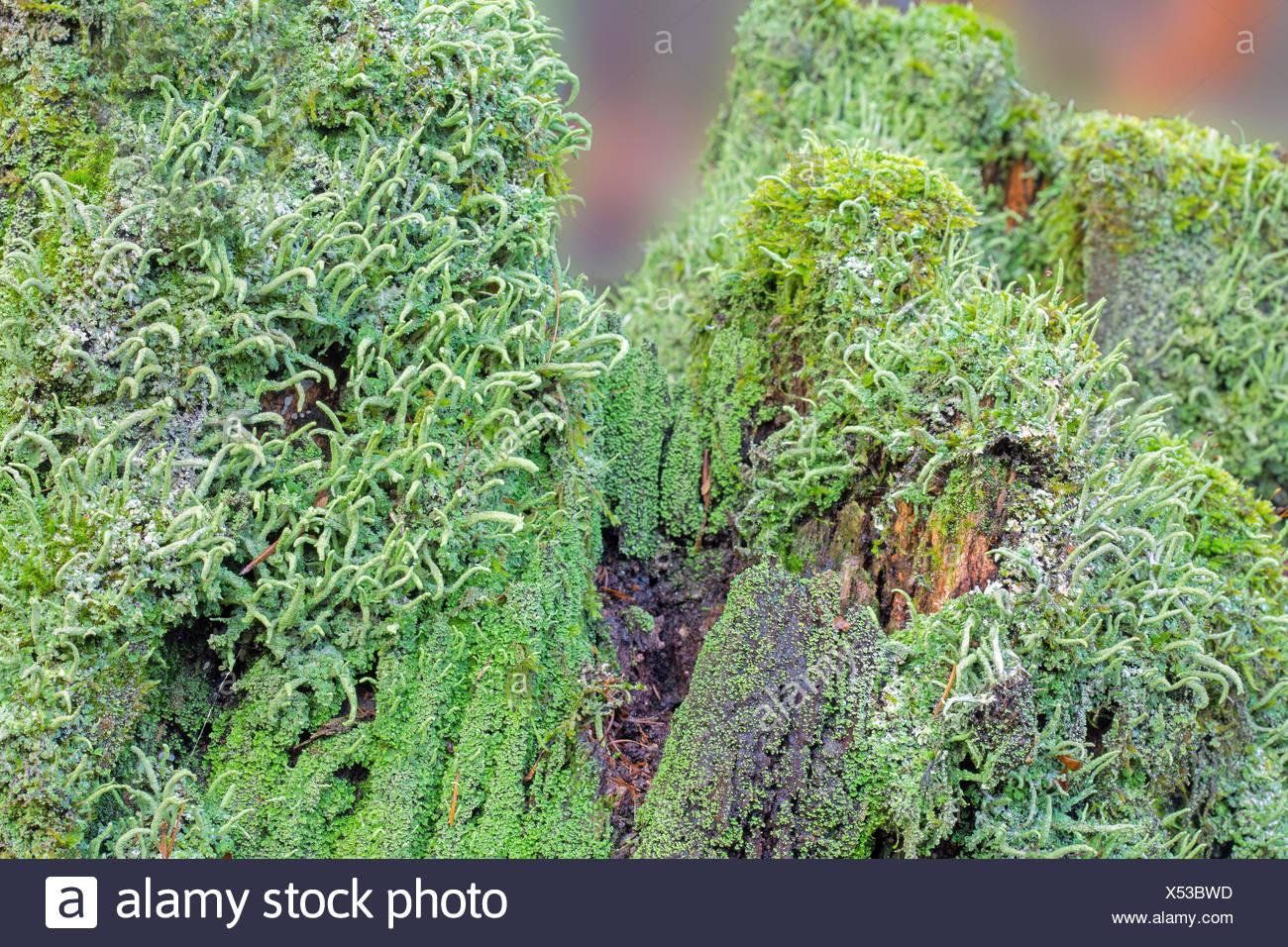 ordinary column lichen on deadwood - Stock Image