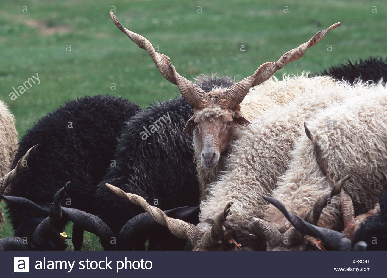 Walachian (Ovis ammon f. aries), old breed of sheep, Hungary - Stock Image