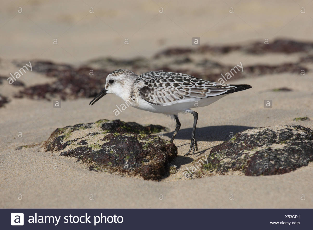 Sanderling, Crocethia alb, beach, - Stock Image