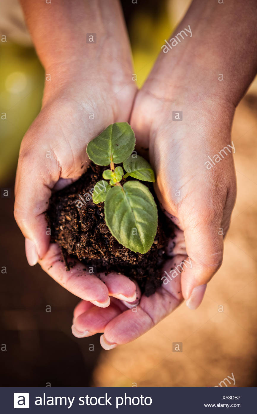 Overhead view of seedling in hands at garden - Stock Image