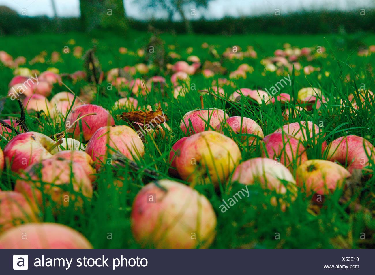 UK, Fallen apples on ground Stock Photo