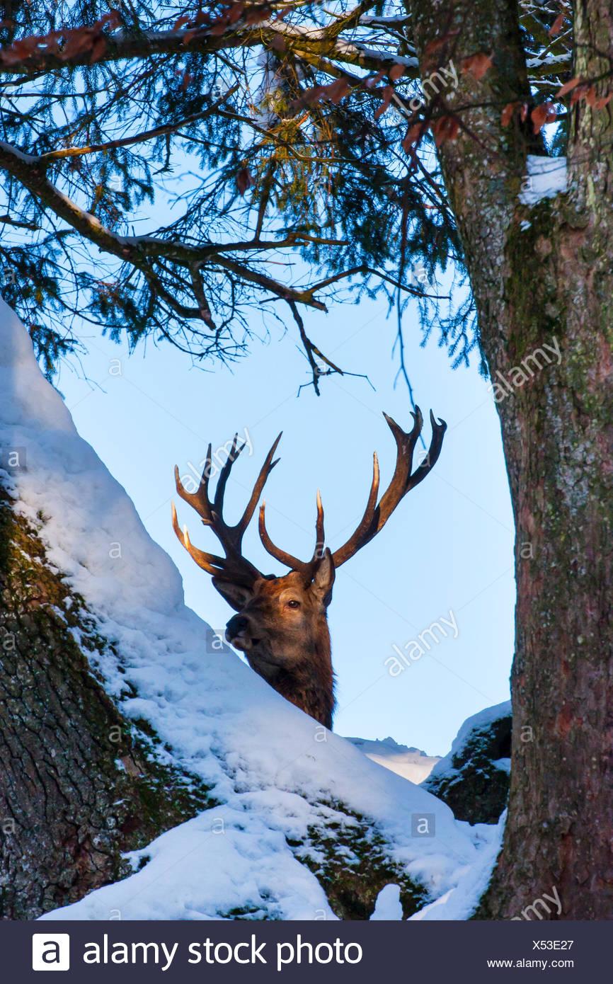 red deer (Cervus elaphus), stag looks throught snow covered trees, Switzerland, Sankt Gallen - Stock Image