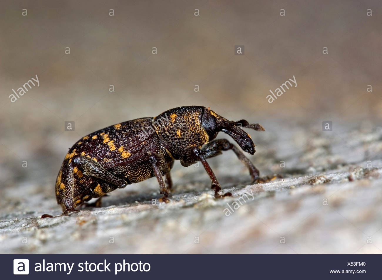 fir-tree weevil, pine weevil (Hylobius abietis), on a stone, Germany - Stock Image