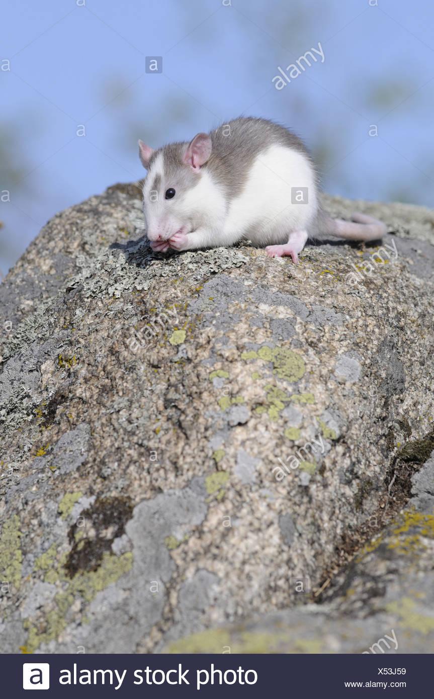 Pet rat on a rock - Stock Image