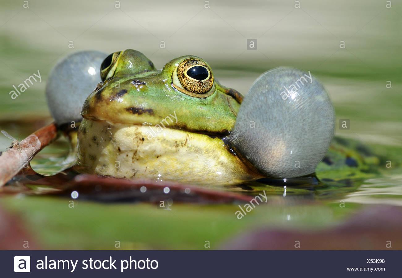 croaking frog water - Stock Image