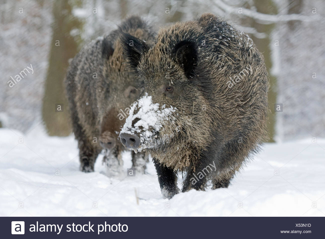 wild boar pig wild boars - Stock Image