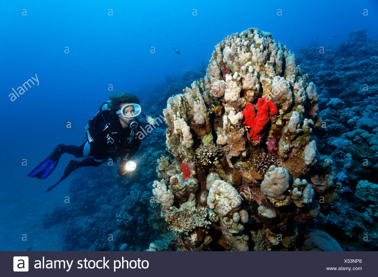 Diver, reefslope with coral block, several stone corals, sponges, Hashemite Kingdom of Jordan, Red Sea, Western Asia - Stock Image